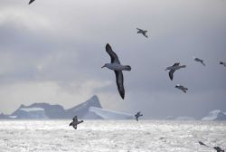 Two black-browed albatross fly with a flock of cape petrels across a classic, Photo