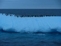 A group of chinstrap penguins floats on an iceberg. Photo