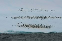 A chinstrap penguin aggregation on an iceberg. Photo