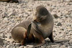 A female Antarctic fur seal grooms her flipper. Photo