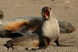A female Antarctic fur seal calls to her pup Photo