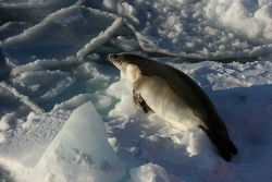 A crabeater seal hauled out on an ice floe. Photo