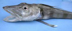 Chaenocephalus aceratus, an Antarctic icefish. Photo
