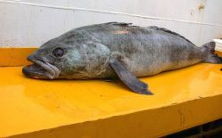 Dissostichus mawsoni, a species of toothfish. Photo