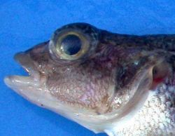 Trematomus scotti, crowned rockcod. Photo