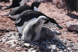 Chinstrap penguin parent with two chicks. Photo