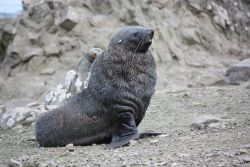 Young male Antarctic fur seal, Cape Shirreff, Livingston Island. Photo