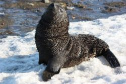 Antarctic fur seal pup in the snow. Photo