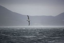 A black-browed albatross glides in the wind on a stormy day in the Southern Ocean. Photo