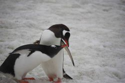 A pair of adult gentoo penguins. Photo