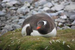 A gentoo penguin, South Shetland Islands. Photo