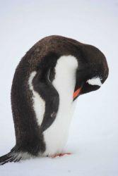 A resting gentoo penguin. Photo