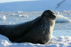 A Weddell seal resting on a ice floe in the Antarctic Peninsula. Photo