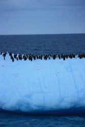 A colony of chinstrap penguins floats on an iceberg. Photo