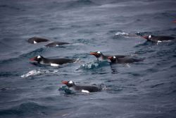 A group of swimming gentoo penguins. Photo