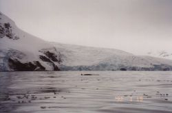 Minke whale, South Shetland Islands. Photo