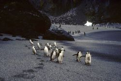 Chinstrap penguins by the seaside, Seal Island. Photo