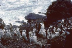 Chinstrap penguins in molt. Photo