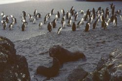 Chinstrap penguins share a beach with a pair of Antarctic fur seals. Photo