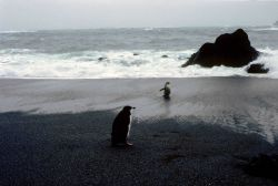 Chinstrap penguins on a rocky beach at Seal Island. Photo