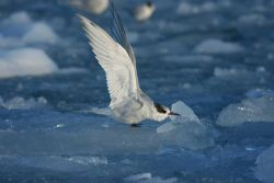 An Antarctic tern taking flight. Photo