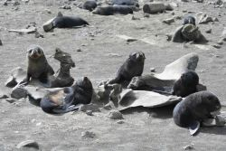 Antarctic fur seal pups bask among whale bones. Photo