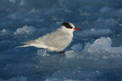 An Antarctic tern resting on an ice floe. Photo