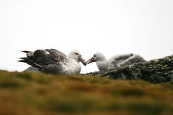 A southen giant petrel and its chick rest together on a mossy hill of rocks. Photo