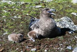A brown skua watches over its two young chicks as they explore the area around their nest. Photo