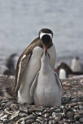 An adult gentoo penguin feeding its chick Photo