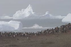 A chinstrap penguin colony with icebergs in the distance. Photo