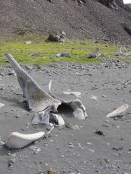 Whalebone debris on a beach in the South Shetland Islands, a clue to the area's history as a whaling center. Photo