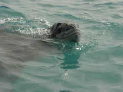 A leopard seal, Hydrurga leptonyx, swims near Seal Island. Photo