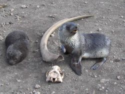 Antarctic fur seal pups with a whale rib and seal skull, Livingston Island. Photo