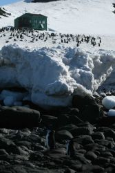 Chinstrap penguins on Livingston Island. Photo