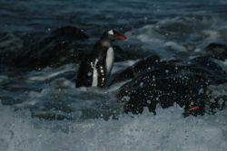 A gentoo penguin at Cape Shirreff, Livingston Island. Photo