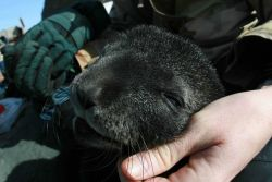 Antarctic fur seals sometimes approach AMLR scientists, and enjoy being scratched around the ears like a cat. Photo