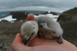 An AMLR biologist holds a penguin chick, Livingston Island. Photo