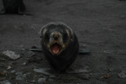 An Antarctic fur seal pup at Livingston Island. Photo