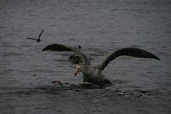 A southern giant petrel scavenges a seal that has been killed by a leopard seal. Photo