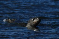 A leopard seal stalks in the shallows. Photo