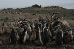 Huddled chinstrap penguins on the outskirts of a colony. Photo