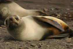A female Antarctic fur seal sunning. Photo