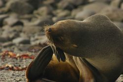 Female Antarctic fur seal scratching. Photo