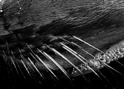 Close up of an Antarctic fur seal's whiskers. Photo