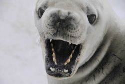 A crabeater seal baring its impressive teeth. Photo