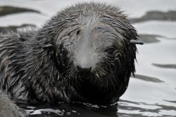 Antarctic fur seal pup playing in the water. Photo