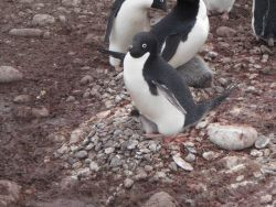 An Adelie penguin warms its chick. Photo