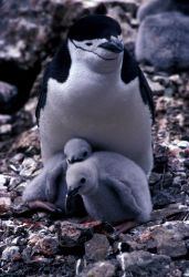 An adult chinstrap penguins with chicks, Seal Island, South Shetland Islands. Photo
