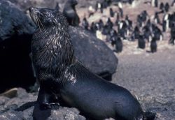 Antarctic fur seal. Photo